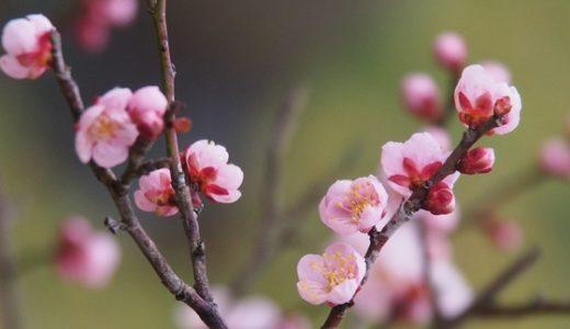 早咲きの梅の花@高岡古城公園