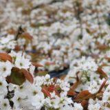 呉羽梨の花
