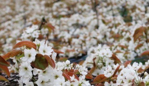 【呉羽丘陵】梨の花の純白の風景!
