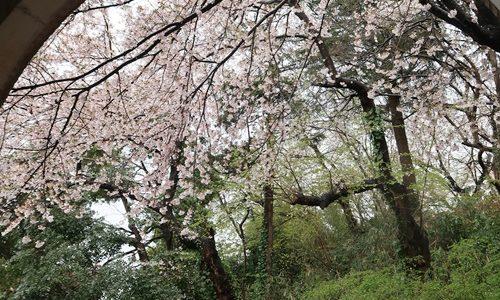 【高岡古城公園】富山のお花見スポット!雨の日の桜のじゅうたんも綺麗です♪