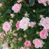 おとぎの森のバラ