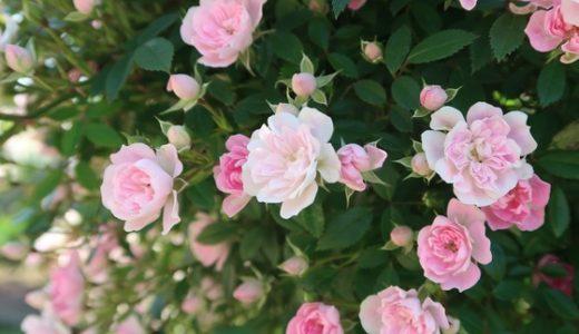 【高岡おとぎの森公園】無料で楽しめるステキなスポット!バラが見ごろを迎えてます♪