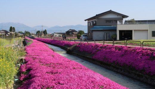【新屋敷の芝桜】砺波の春の新名所!芝桜がきれいに咲いています♪